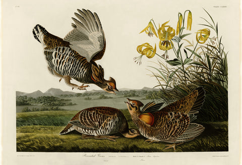 John James Audubon - Pinnated Grous