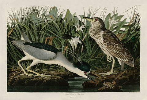 Night Heron or Qua Bird