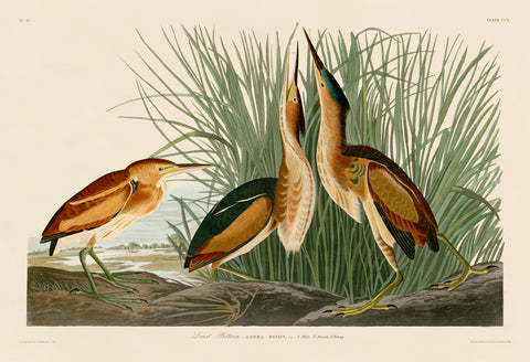 Least Bittern -  John James Audubon - McGaw Graphics