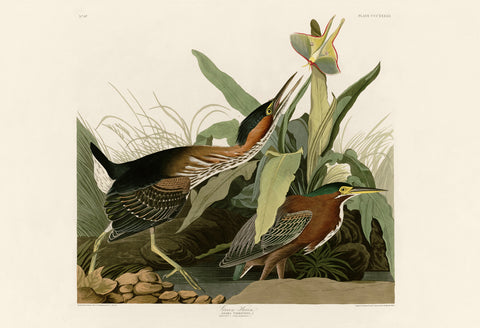 Green Heron -  John James Audubon - McGaw Graphics