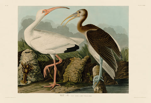 John James Audubon - White Ibis