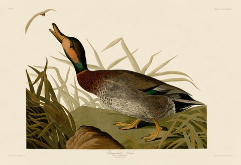 John James Audubon - Bemaculated Duck