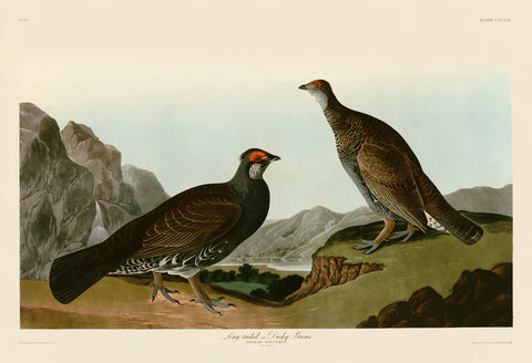John James Audubon - Long-tailed or Dusky Grous