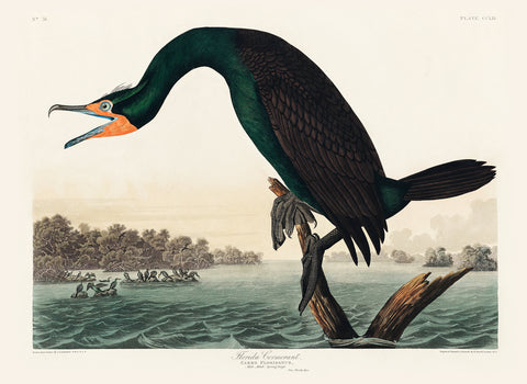 Florida Cormorant -  John James Audubon - McGaw Graphics