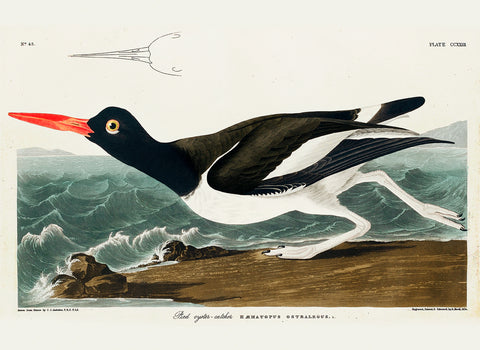 Pied Oyster-Catcher -  John James Audubon - McGaw Graphics