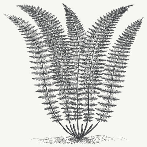 Botanical Series - Fern (Ivory & Ink)