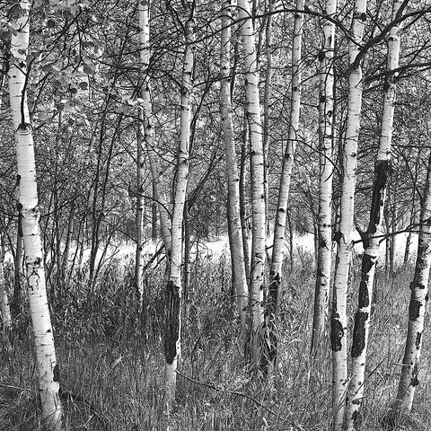 Birch Forest -  Erin Clark - McGaw Graphics