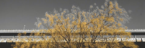 Golden Tree (color and b/w) -  Erin Clark - McGaw Graphics