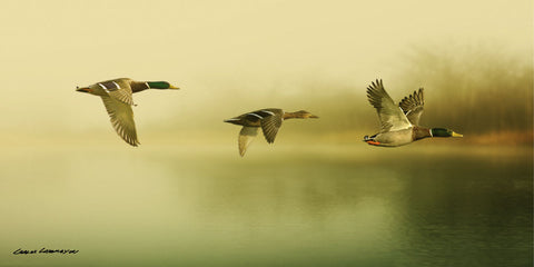 Ducks Flying -  Carlos Casamayor - McGaw Graphics