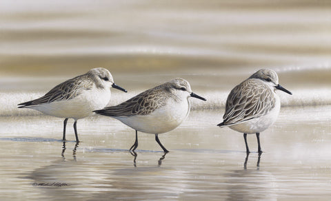 Sanderlings -  Richard Clifton - McGaw Graphics