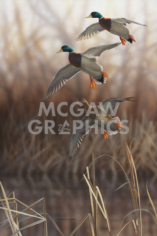 Whisper Wind and Wing - Mallards -  Richard Clifton - McGaw Graphics