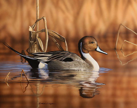 Pintail Drake -  Richard Clifton - McGaw Graphics