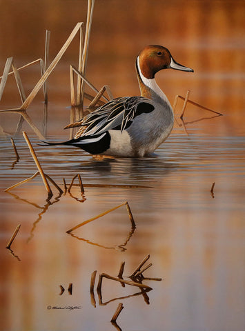 Richard Clifton - Shallow Marsh - Pintail Drake