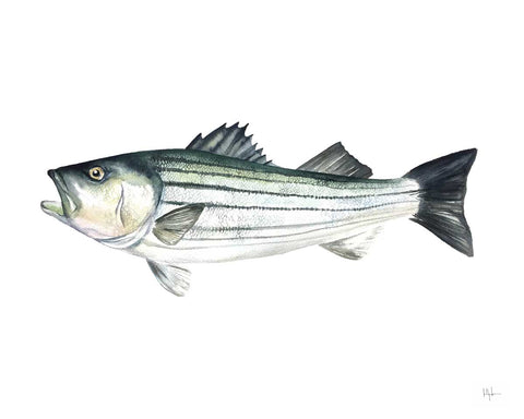 Striped Bass -  Kelly Clause - McGaw Graphics