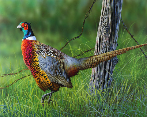 Looking Back - Pheasant -  Richard Clifton - McGaw Graphics