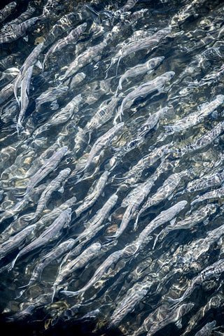 Alewives at Damariscotta, Maine
