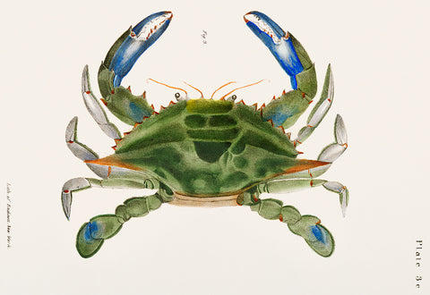 Blue Crab Illustration,1842–1844 - McGaw Graphics