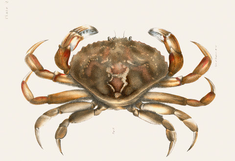 Rock Crab Illustration, 1842–1844 - McGaw Graphics