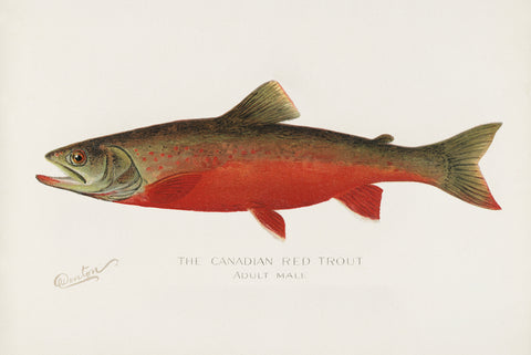 Canadian Red Trout, 1913 - McGaw Graphics