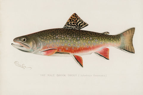 Male Brook Trout, 1913 - McGaw Graphics