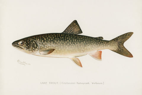 Lake Trout, 1913 - McGaw Graphics