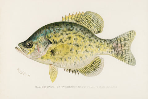 Calico Bass; Strawberry Bass, 1913 - McGaw Graphics