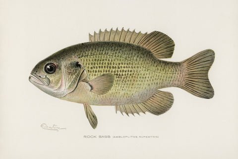 Rock Bass, 1913 - McGaw Graphics
