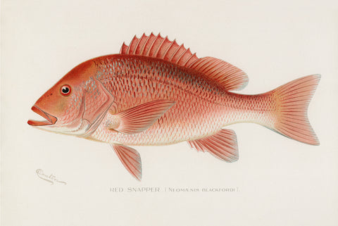 Red Snapper, 1913 - McGaw Graphics