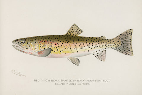 Red Throat Black Spotted or Rocky Mountain Trout, 1913 - McGaw Graphics