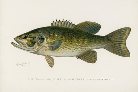 Small-Mouthed Black Bass, 1913 - McGaw Graphics