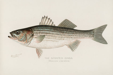 Striped Bass, 1913 - McGaw Graphics