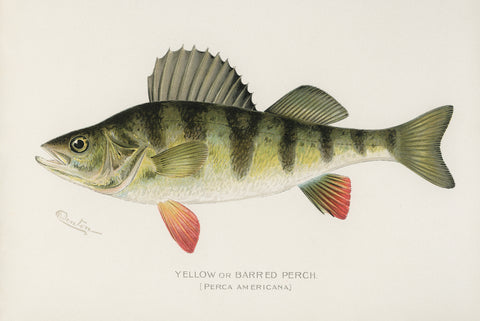 Yellow or Barred Perch, 1913 - McGaw Graphics
