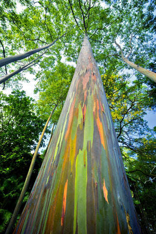 Painted Eucalyptus -  Dennis Frates - McGaw Graphics