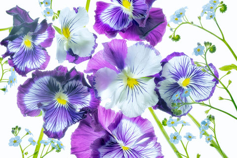Wooping Purple Whiskers and Blue Water Forget Me Nots -  Dennis Frates - McGaw Graphics