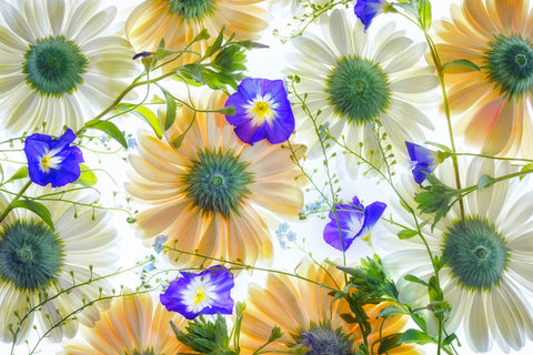 Gerbera flowers and Blue Ensign -  Dennis Frates - McGaw Graphics