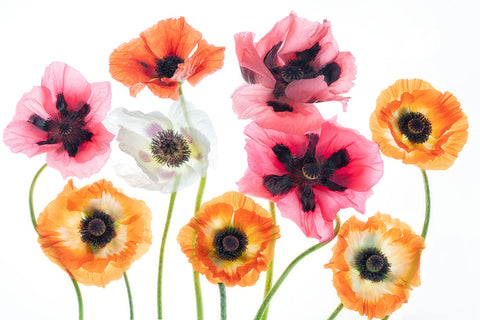 Oriental Poppy Bouquet I -  Dennis Frates - McGaw Graphics