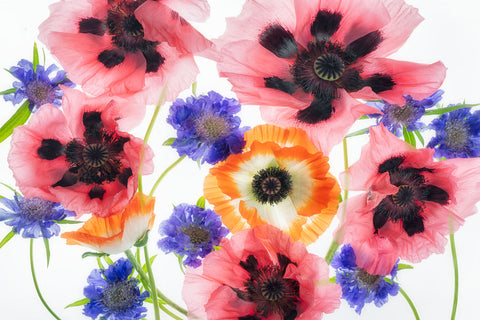Poppy Flower Display -  Dennis Frates - McGaw Graphics