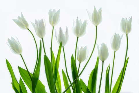 Bouquet of White Tulips -  Dennis Frates - McGaw Graphics