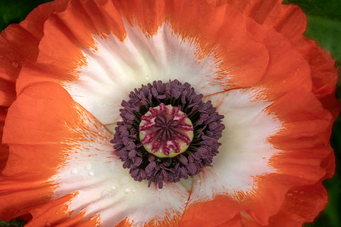 Close up of Red Oriental Poppy Flower -  Dennis Frates - McGaw Graphics