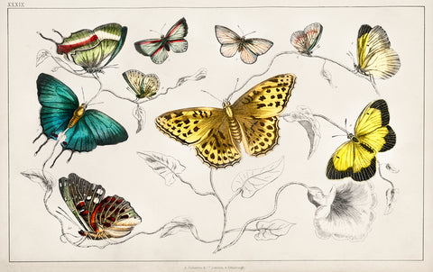 Collection of Various Butterflies I, 1820 - McGaw Graphics