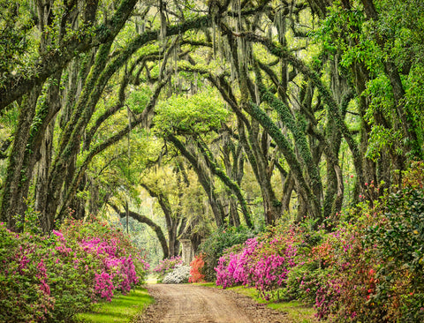 Afton Villa Gardens, Oak Alley and Azaleas, St. Francisville, LA -  William Guion - McGaw Graphics