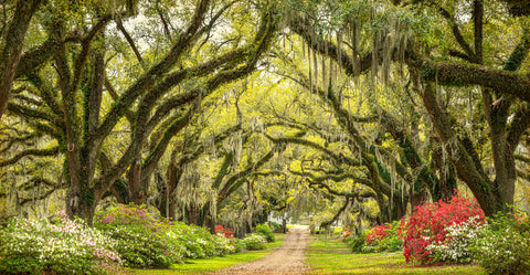 Live Oaks in Bloom, The Oaks Plantation Alley, St. Francisville, LA -  William Guion - McGaw Graphics
