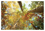 Forest Canopy -  Michael Hudson - McGaw Graphics