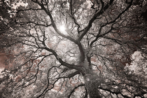 Ethereal Tree -  Michael Hudson - McGaw Graphics