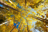 Aspens on the Canon Brook Trail -  Michael Hudson - McGaw Graphics