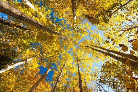 Michael Hudson - Aspens on the Canon Brook Trail