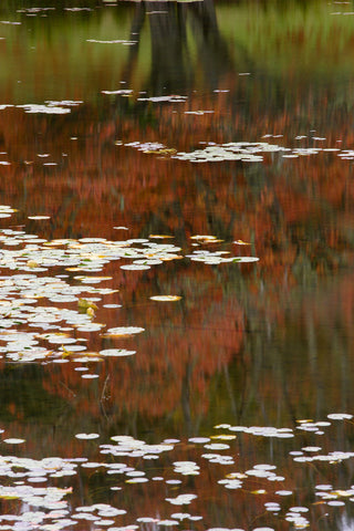 Lily Pads and Red Maple -  Michael Hudson - McGaw Graphics