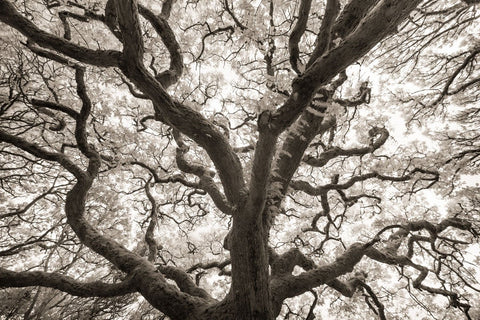 Michael Hudson - Ancient Oak
