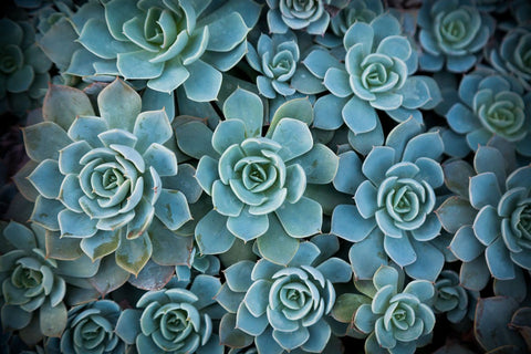 Echeveria III -  Michael Hudson - McGaw Graphics