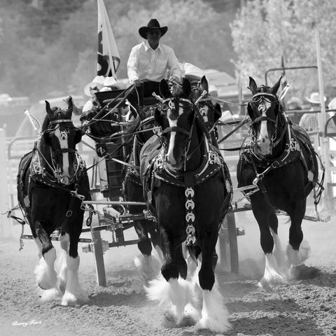 Barry Hart - Shire Horses